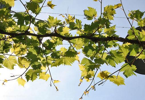 Виноградный стебель