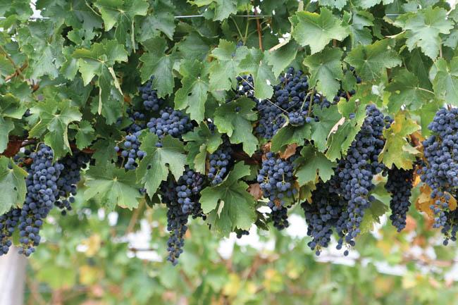 североамериканский виноград