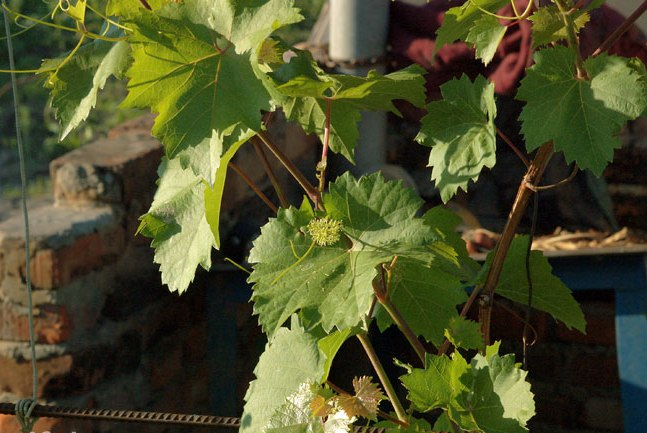 Европейский виноград