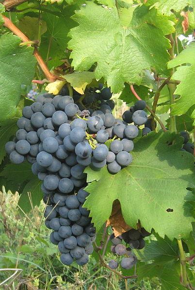 Поздний виноград