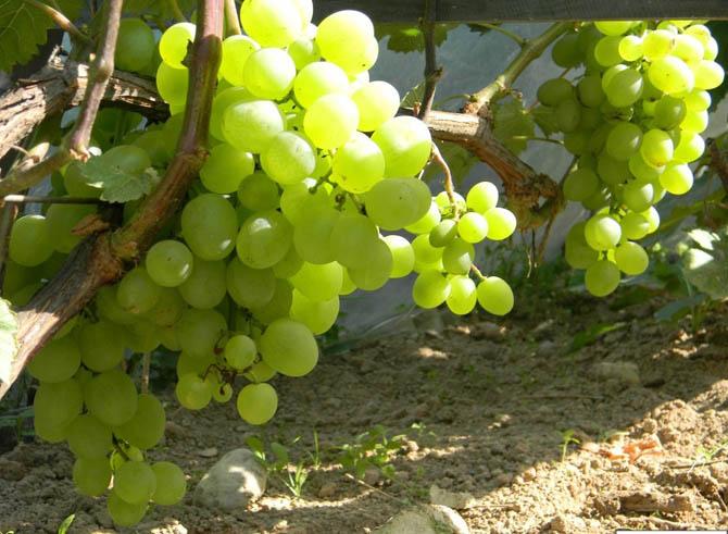 Ранний виноград